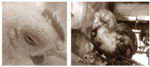 Penyakit Coryza sebagai Contoh Penyakit yang Disebabkan oleh Bakteri pada Hewan